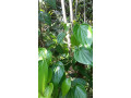 betel-leaf-plant-for-sale-in-jaffna-small-1