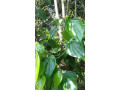 betel-leaf-plant-for-sale-in-jaffna-small-0
