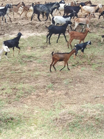 goats-for-sale-in-trincomalle-big-2