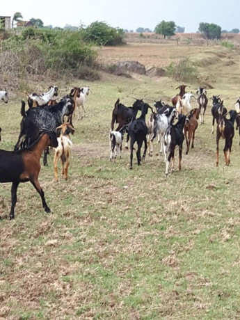 goats-for-sale-in-trincomalle-big-0