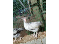 2-months-country-chicken-for-sale-small-1