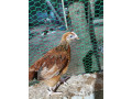 2-months-country-chicken-for-sale-small-2