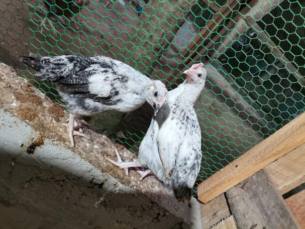 2-months-country-chicken-for-sale-big-0