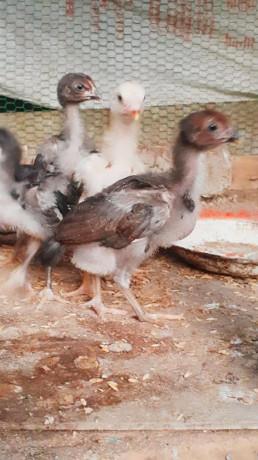 original-velladiyan-chicken-sale-in-jaffna-big-1