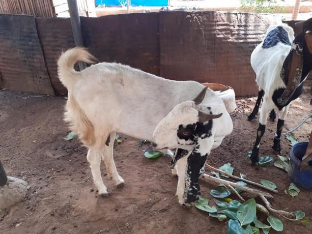 goats-for-sale-in-jaffna-big-1