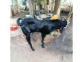 male-goat-for-sale-small-0