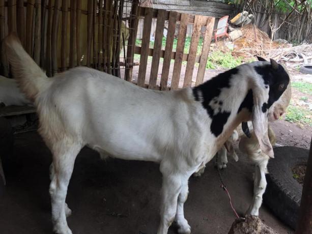 goat-for-sale-in-jaffna-big-2