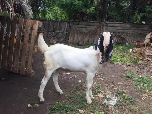 goat-for-sale-in-jaffna-big-1