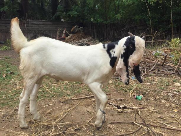 goat-for-sale-in-jaffna-big-0