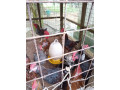country-hen-for-sale-in-jaffna-small-3