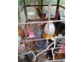 country-hen-for-sale-in-jaffna-small-2