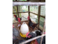 country-hen-for-sale-in-jaffna-small-0
