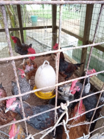 country-hen-for-sale-in-jaffna-big-3
