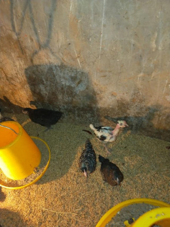country-chicken-for-sale-big-3