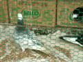 pigeons-sale-in-jaffna-small-2