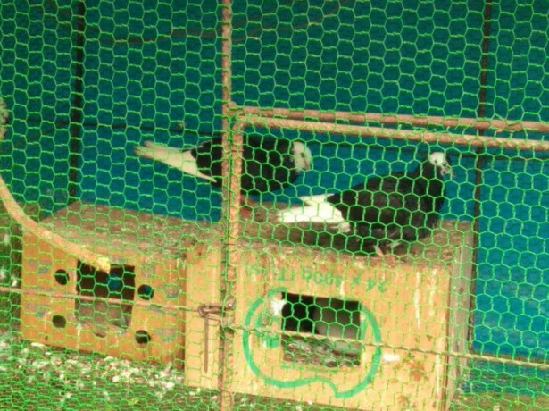 pigeons-sale-in-jaffna-big-0