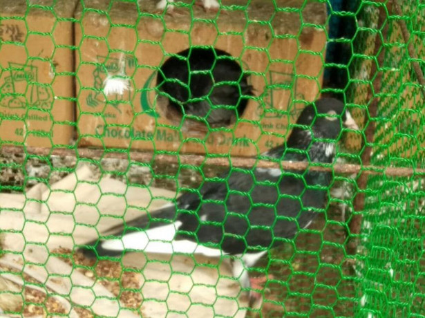 pigeons-sale-in-jaffna-big-1