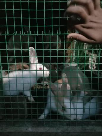 rabbit-for-sale-in-jaffna-big-2
