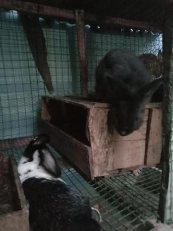 rabbit-for-sale-in-jaffna-big-1