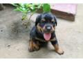 rotwellar-puppies-sales-in-jaffna-small-3