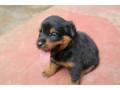rotwellar-puppies-sales-in-jaffna-small-2