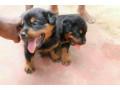 rotwellar-puppies-sales-in-jaffna-small-0