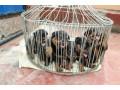 rotwellar-puppies-sales-in-jaffna-small-1