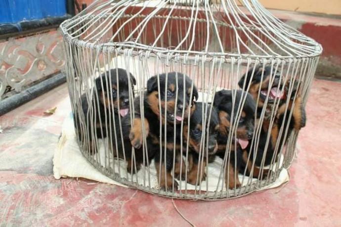 rotwellar-puppies-sales-in-jaffna-big-1
