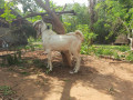 2-male-goats-for-sale-small-1