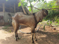 2-male-goats-for-sale-small-0