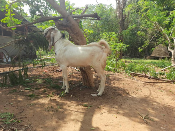 2-male-goats-for-sale-big-1