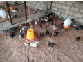 one-month-country-hen-sale-small-0