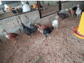 one-month-country-hen-sale-small-1