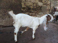 goats-for-sale-in-jaffna-small-2