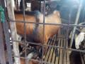 goat-for-sale-in-vavuniya-small-1
