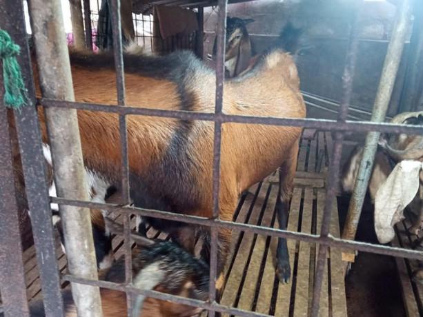 goat-for-sale-in-vavuniya-big-1