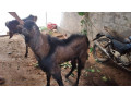 goat-sale-jaffna-small-1