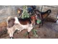 goat-sale-jaffna-small-0