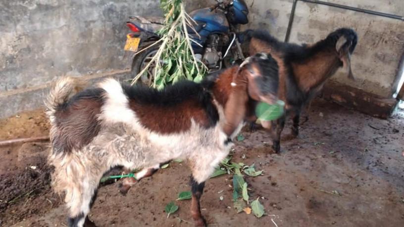 goat-sale-jaffna-big-0