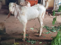 male-goats-for-sale-small-1