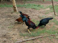 country-chicken-for-sale-small-2