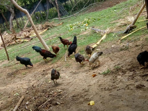 country-chicken-for-sale-big-0