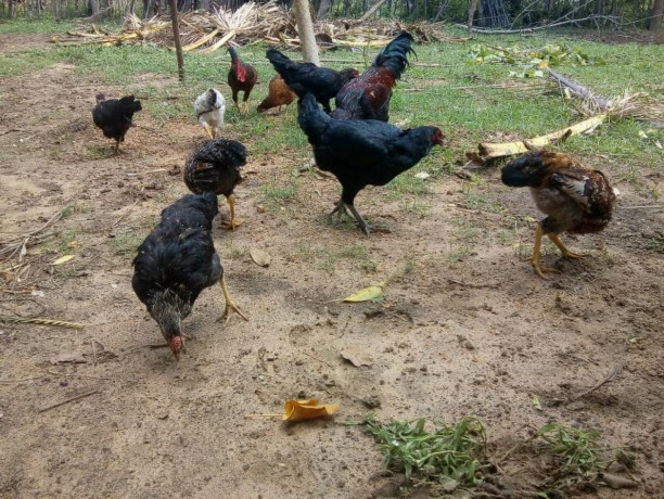 country-chicken-for-sale-big-1