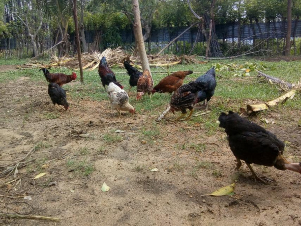 country-chicken-for-sale-big-4