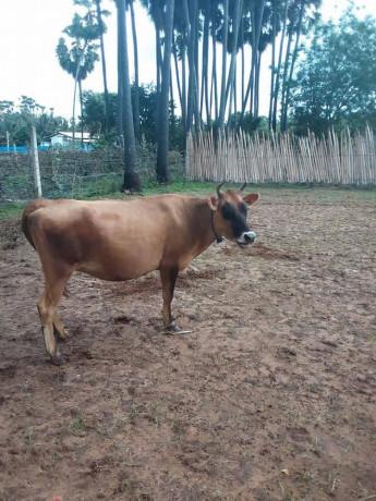 cow-sale-in-jaffna-big-1