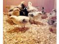 one-week-chicken-sale-small-0