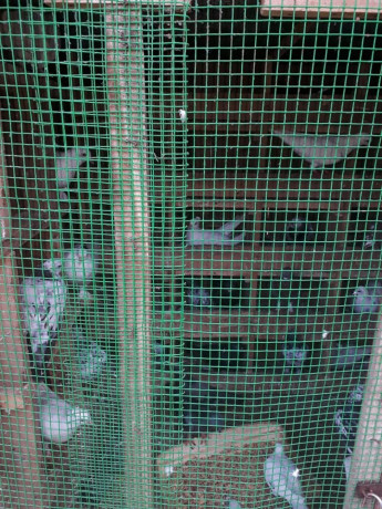 40-pigeon-sale-in-jaffna-big-2