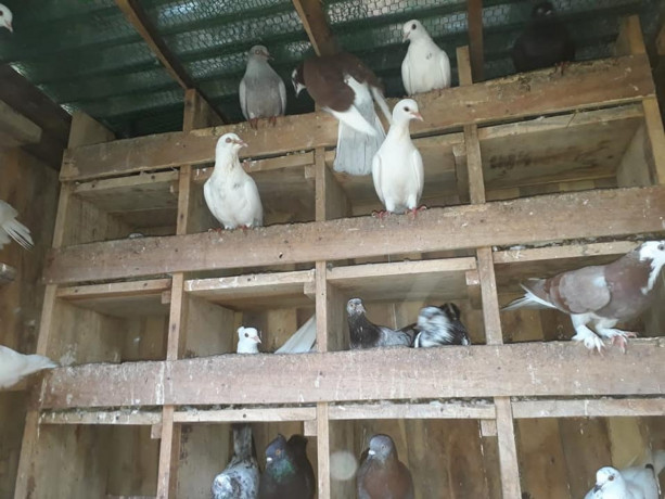 40-pigeon-sale-in-jaffna-big-3