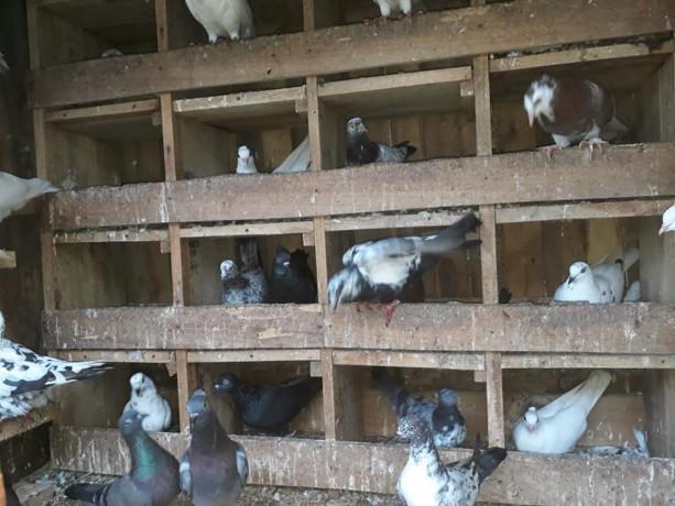 40-pigeon-sale-in-jaffna-big-1