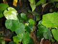 country-grapes-plants-for-sale-small-2